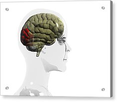 Human Brain, Occipital Lobe Acrylic Print by Christian Darkin