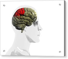 Human Brain, Parietal Lobe Acrylic Print by Christian Darkin