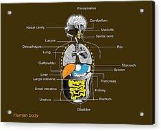 Human Internal Organs, Diagram Acrylic Print by Francis Leroy, Biocosmos