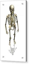 Human Skeleton, Artwork Acrylic Print by Friedrich Saurer