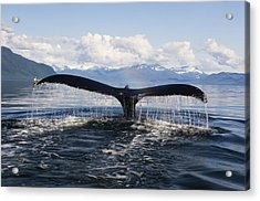 Humback Whale Diving With Tail Flukes Acrylic Print by James Forte