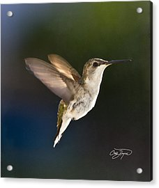 Hummer In Spring Morning Sunshine - Artist Cris Hayes Acrylic Print by Cris Hayes
