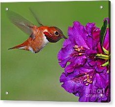 Acrylic Print featuring the photograph Hummer N Blooms by Jack Moskovita