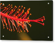 Hummers Delight Acrylic Print