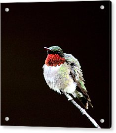 Hummingbird - Ruffled Feathers Acrylic Print