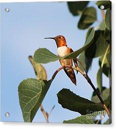 Hummingbird 11 Acrylic Print