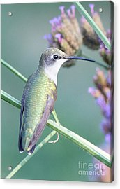 Hummingbird At Rest Acrylic Print by Robert E Alter Reflections of Infinity