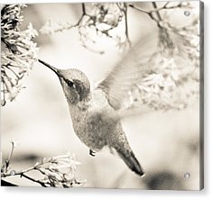 Acrylic Print featuring the photograph Hummingbird At The Valerian by Ronda Broatch