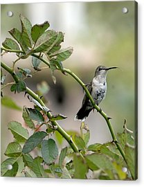 Hummingbird Acrylic Print by Diane Giurco