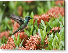 Hummingbird Flying Over Red Flowers Acrylic Print by Craig Lapsley