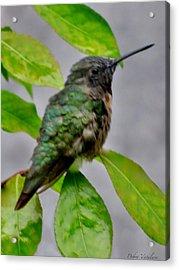 Hummingbird Gem 4 Acrylic Print by Debra     Vatalaro