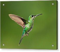 Hummingbird In Flight Acrylic Print by Hali Sowle