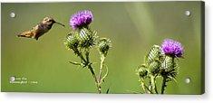 Hummingbird In Flight - Milkweed Thistle Acrylic Print