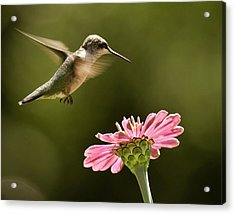 Hummingbird Acrylic Print by Jody Trappe Photography