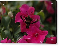 Hummingbird Moth Acrylic Print by Rafael Figueroa