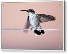 Hummingbird On A Wire Acrylic Print by Wind Home Photography