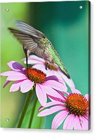 Hummingbird On Coneflower Acrylic Print
