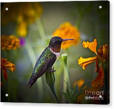 Hummingbird On Guard - Artist Cris Hayes Acrylic Print by Cris Hayes