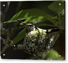 Acrylic Print featuring the photograph Hummingbird On Nest by Betty Depee