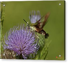 Hummingbird Or Clearwing Moth Din178 Acrylic Print