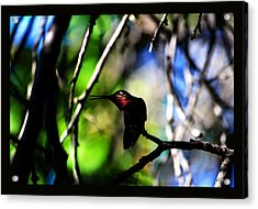 Acrylic Print featuring the photograph Hummingbird Resting On A Twig by Susanne Still