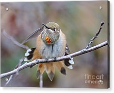 Hummingbird Stretch Two Acrylic Print