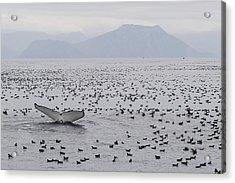Humpback Whale Diving Amid Seabirds Acrylic Print by Flip Nicklin