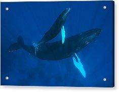 Humpback Whale, Megaptera Novaeangliae Acrylic Print by Mauricio Handler