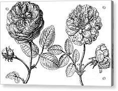 Hundred-leafed Rose Acrylic Print by Granger