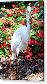 Acrylic Print featuring the photograph Hungry Egret  by Denise Moore