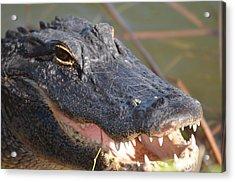 Hungry Gator Acrylic Print by Susan McNamara