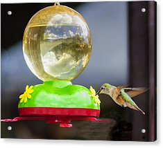 Hungry Hummingbird Acrylic Print by Sandra Welpman