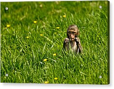Acrylic Print featuring the photograph Hungry Monkey by Justin Albrecht