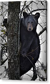 Hunting Berries Acrylic Print