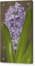 Hyacinth In Full Bloom Acrylic Print