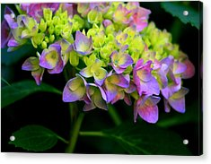 Hydrangea Beauty Acrylic Print by Valia Bradshaw