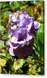 Hydrangea Bloom Acrylic Print by Beverly Hammond