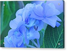 Hydrangea Blue Acrylic Print by Becky Lodes
