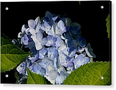 Hydrangea In The Morning Acrylic Print