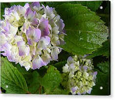Hydrangeas-soon To Be Acrylic Print