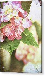 Hydrangeas Acrylic Print by Stephanie Frey