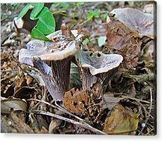 Hygrophorus Caprinus Mushrooms Acrylic Print by Mother Nature