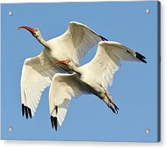 Ibis In Flight Acrylic Print by Paulette Thomas