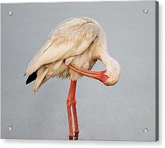 Ibis Preening Acrylic Print by Paulette Thomas