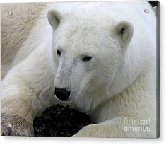 Ice Bear Acrylic Print by Anne Gordon