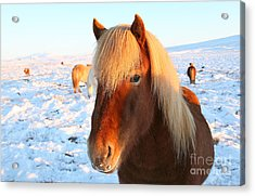 Acrylic Print featuring the photograph Icelandic Horse by Milena Boeva
