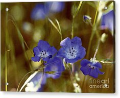 Acrylic Print featuring the photograph Idyllwild Baby Blue Eyes by Johanne Peale