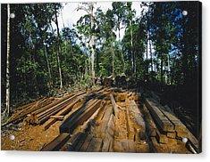 Illegal Logging Site, Felled Trees Acrylic Print by Tim Laman
