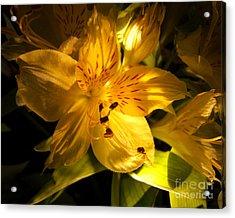Illuminated Yellow Alstromeria Photograph Acrylic Print