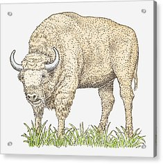 Illustration Of A Bison Acrylic Print by Dorling Kindersley